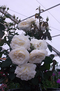 Rose White Romance Ellerslie International Flower Show Botanic Gardens Manurewa New Zealand - 19 Nov 2006