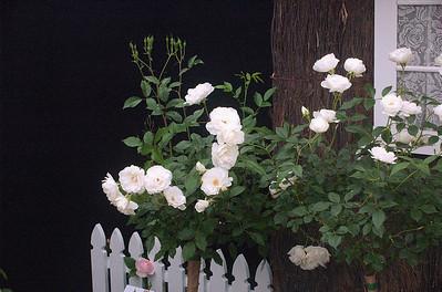 Iceberg roses Ellerslie International Flower Show Botanic Gardens Manurewa New Zealand - 19 Nov 2006