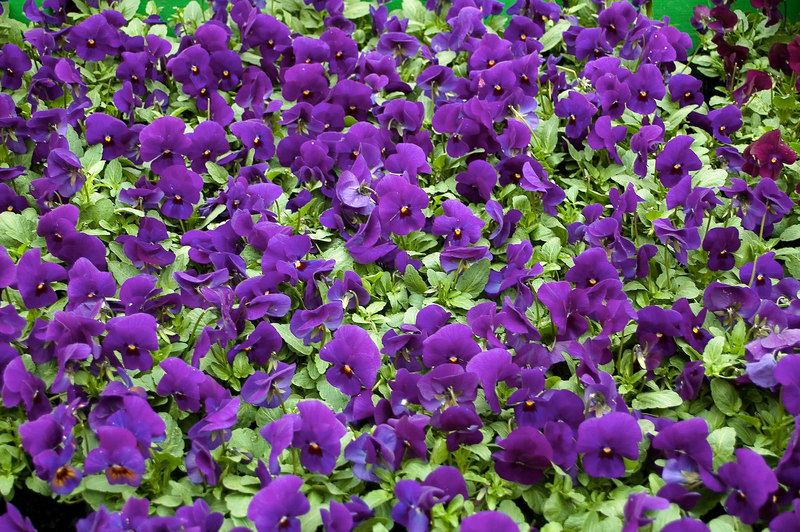 Pansy galore Kings Plant Barn Auckland New Zealand - 19 Aug 2006