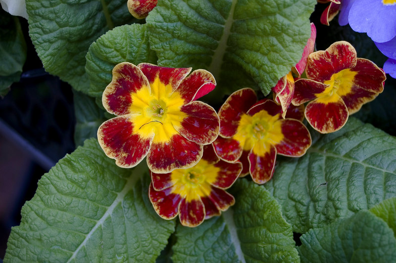 Primula Kings Plant Barn Auckland New Zealand - 19 Aug 2006