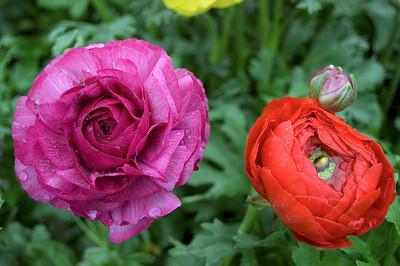 Purple and orange ranuncula Kings Plant Barn Auckland New Zealand - 19 Aug 2006