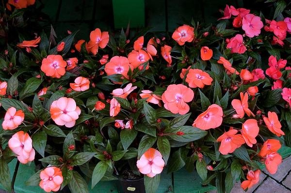 Cyclamen Kings Plant Barn Auckland New Zealand - 19 Aug 2006