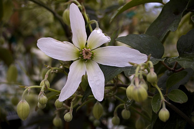 NZ native clematis Kings Plant Barn Auckland New Zealand - 19 Aug 2006