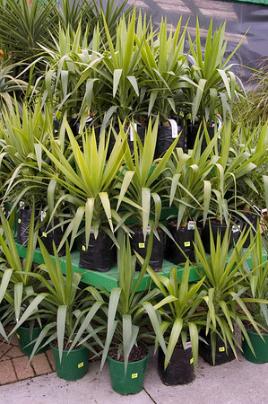Giant yucca Kings Plant Barn Auckland New Zealand - 19 Aug 2006
