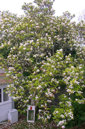 Magnolia St Andrew Auckland New Zealand - 2 Sep 2006