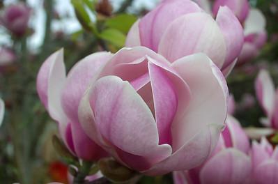 Magnolia Mt Eden Auckland New Zealand - 2 Sep 2006