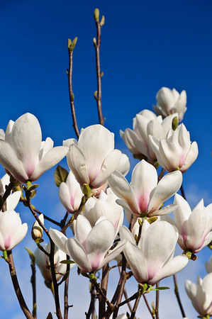 White magnolia in bloom on a sunny spring afternoon in Auckland, New Zealand Moana Ave