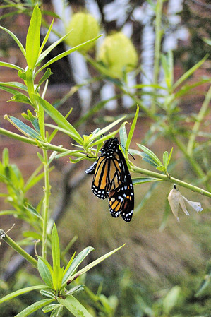 Monarch butterfly out of chrysalis