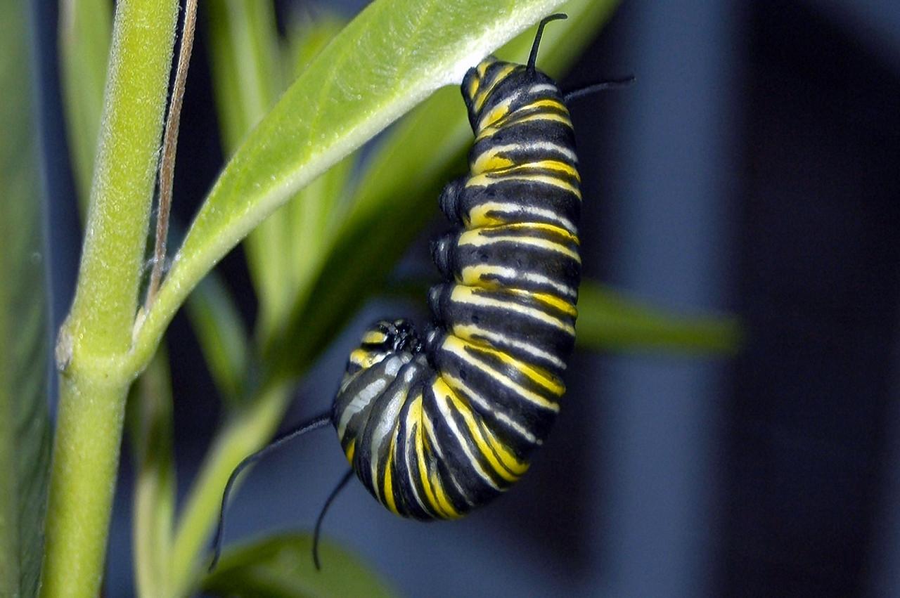 Carterpillar going into chrysalis phase