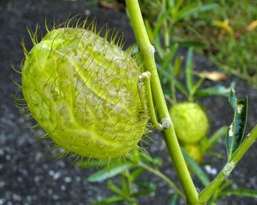 Swan plant seed pod