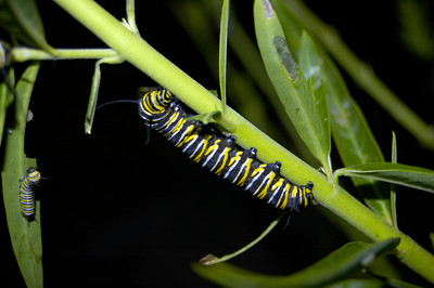 Monarch butterfly caterpillar on swan plant