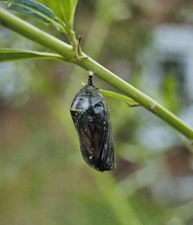 Chrysalis ready to hatch