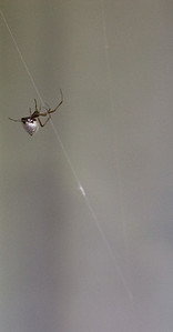 Silvery spider Moana Ave Auckland New Zealand