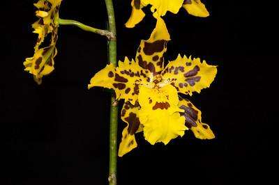 Oncidium Alliance Burning Tiger Orchid show Auckland New Zealand