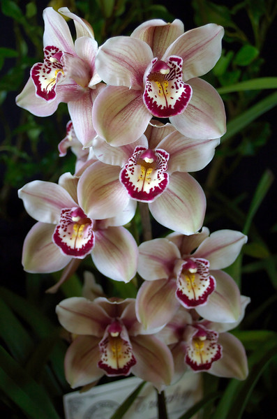 Cymbidium Mouchette 'Magic Mushroom'