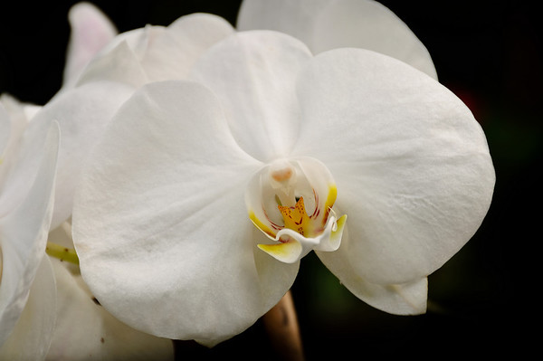 Moth orchids Moana Ave Auckland New Zealand