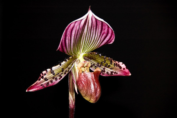 Paphiopedilum slipper orchid Orchid Show Auckland New Zealand