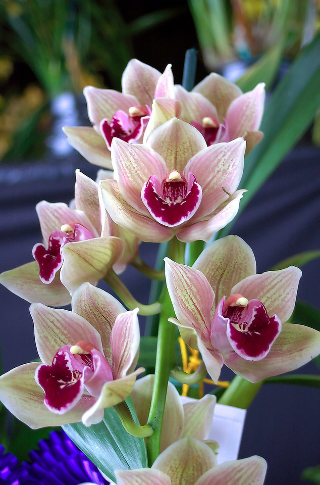 Grand Champion of the Show: cymbidium Tony Ballard devonianum