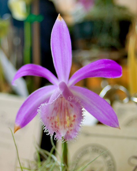 Pleione pricei Exhibited by Shirley Sidnam NZ Orchid Society Spring Show Mt Albert Hall Auckland New Zealand - 16 Sep 2006
