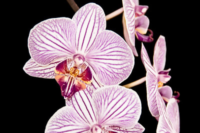 Moth orchids