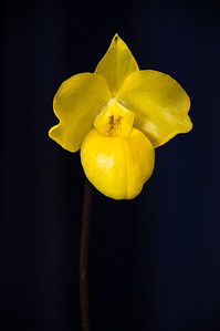 Yellow paphiopedilum slipper orchid Orchid Show Auckland New Zealand