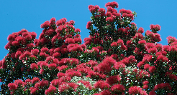 Pohutukawa blooms Long Bay Auckland New Zealand - 9 Dec 2006