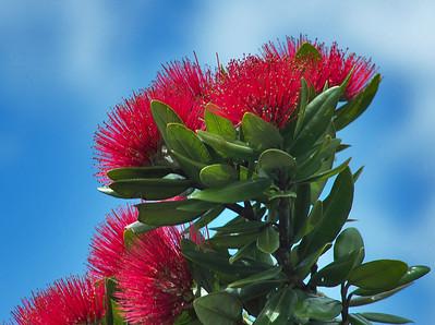 Pohutukawa blooms C:Drive Albany New Zealand - 7 Dec 2006