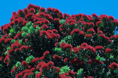 Pohutukawa blooms Athens Road Auckland New Zealand - 2 Dec 2006