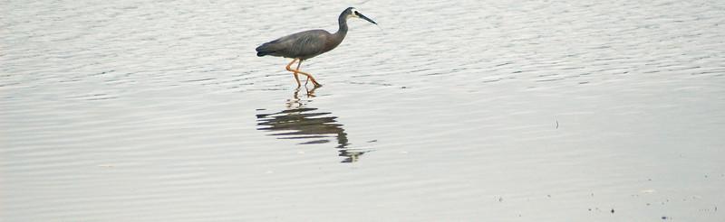 Wading heron Tairua tidal flats Tairua New Zealand - 11 Jan 2007