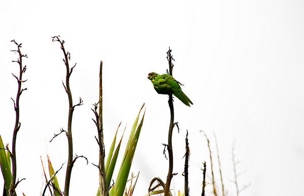 Kakariki Red crown parakeet Tiritiri Matangi Island Hauraki Gulf New Zealand - 8 Dec 2007