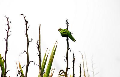 Kakariki Red crown parakeet Tiritiri Matangi Island Hauraki Gulf New Zealand - 8 Dec 2007