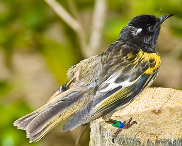 Stitch Bird, male - Hihi, Notiomystis cincta Tiritiri Matangi Island New Zealand - 8 Dec 2007