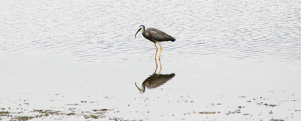 Feeding heron Tairua tidal flats Tairua New Zealand - 11 Jan 2007