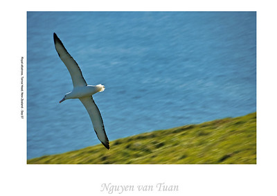 Royal albatross Tairoa Head Otago Peninsula New Zealand - Sep 07