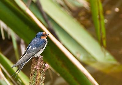 Swallow Tiritiri Matangi Island Hauraki Gulf New Zealand - 8 Dec 2007