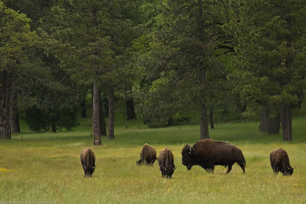 Bisons grazing at Railroad Flat