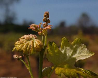 Wineyards of Shenandoah Valley