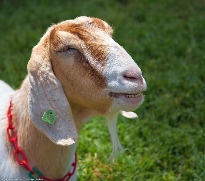 Goat at Deep Hollow Farm, Rancho San Antonio