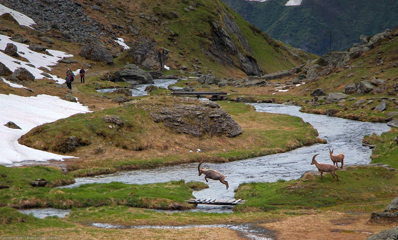 Ibex at Louvie Refuge
