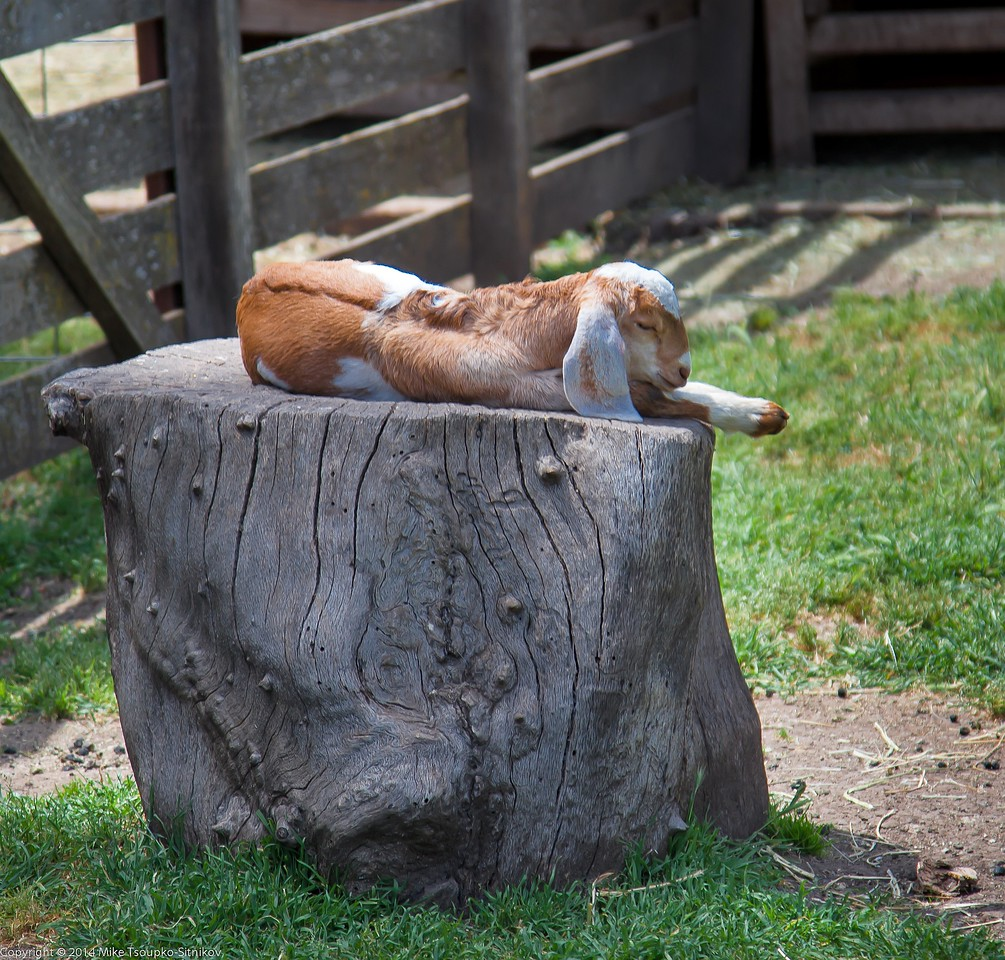 A Baby Goat at Deep Hollow Farm, Rancho San Antonio