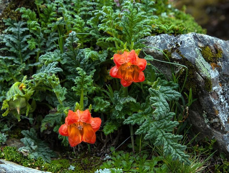 Wild Flowers at Salcantay Trek