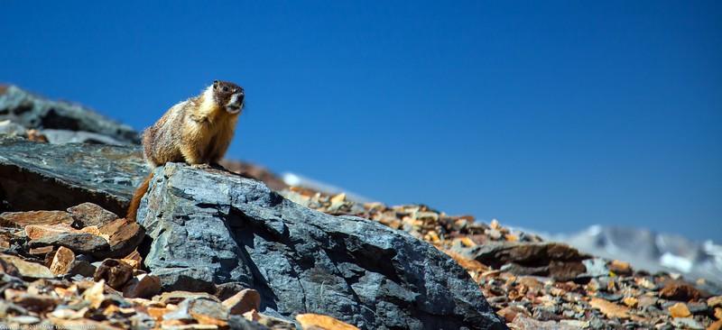 Marmot at Mount Dana Trail