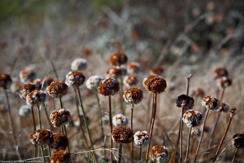 Flowers. Wilder Ranch State Park