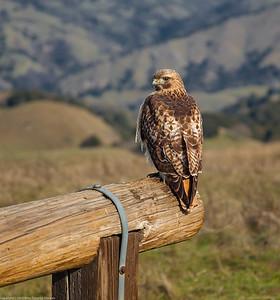 Redtail Hawk at Mission Peak