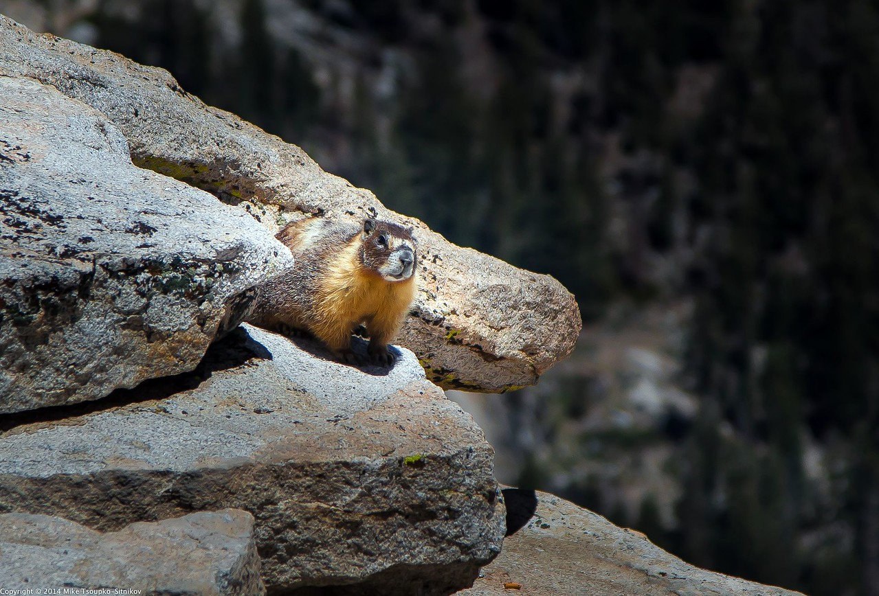 Marmot at Clouds Rest