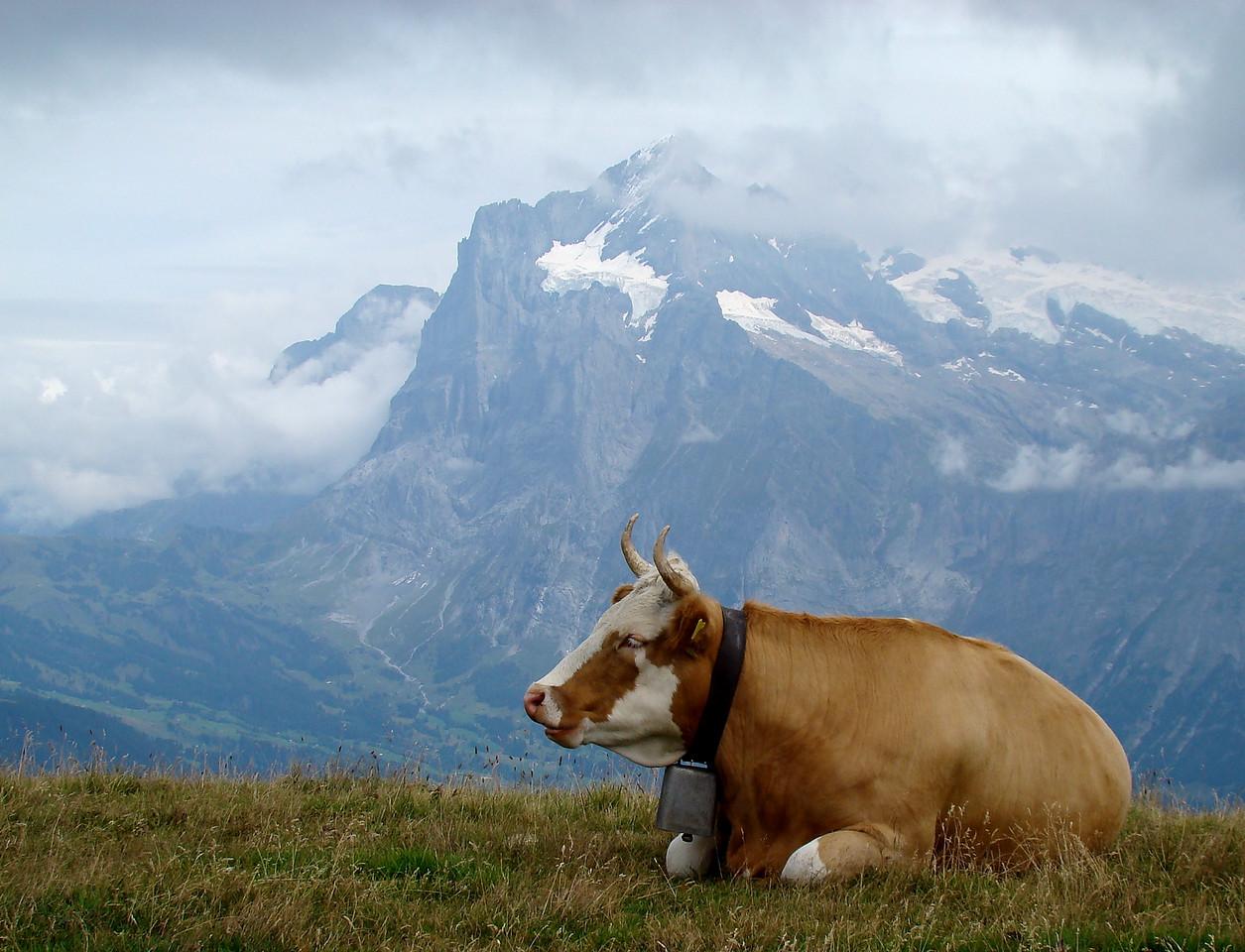 A happy cow in Manlichen