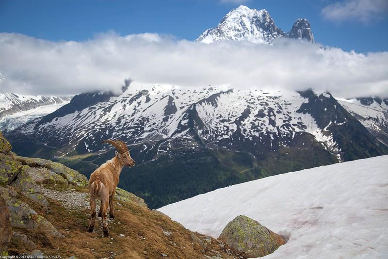 Ibex at Lac Blanc Hike near Chamonix