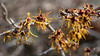 Witch Hazel  ( Hamamelis )