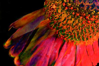 Cone Flower Aglow