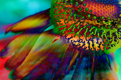 Rainbow Cone Flower